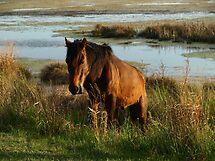 Assateague Marsh Stallion by kimbarose