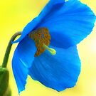 Blue Poppy by R Outram