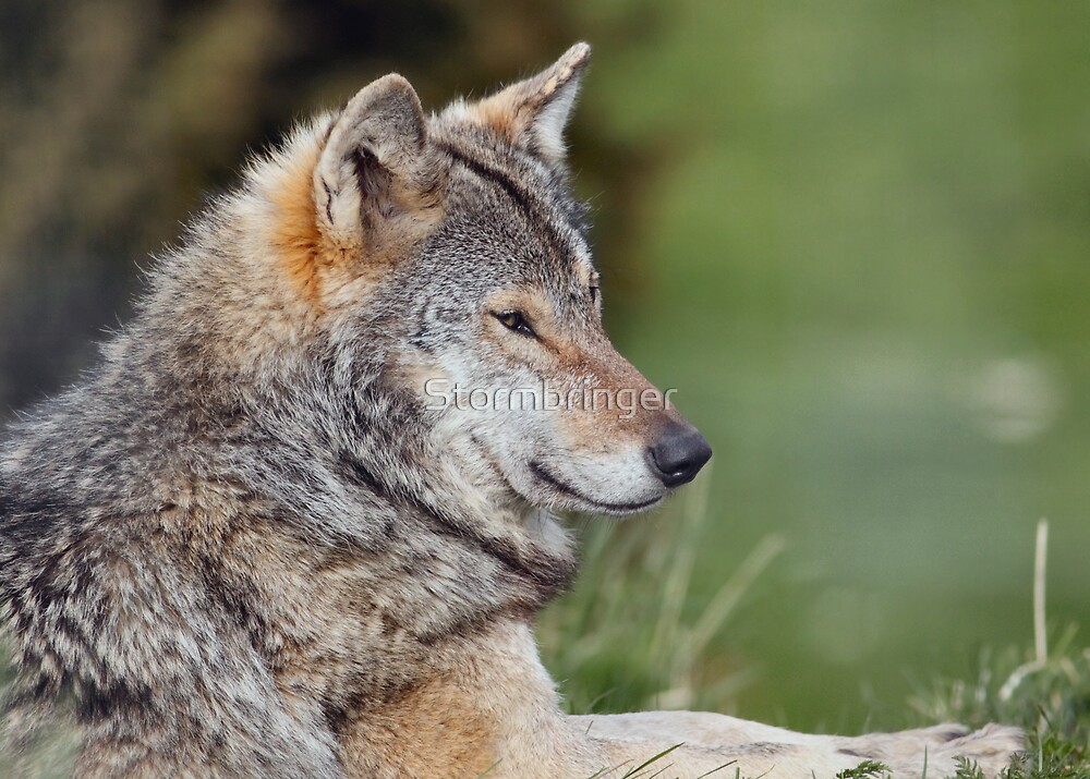 Timber Wolf by Stormbringer