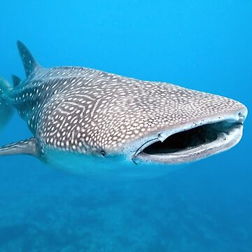 Whale Shark Under Water  by banwa