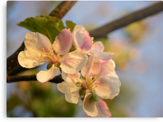Wild Apple Blossom by Lindamell