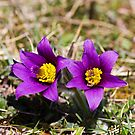 Pasqueflower (Pulsitilla vulgaris) by Steve Chilton