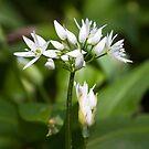 Ramson (Alium Ursinum) by Steve Chilton