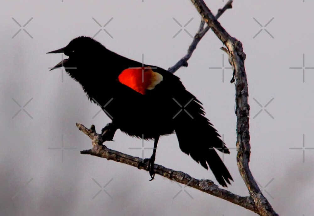 Red-Winged Blackbird by Vickie Emms