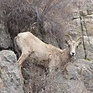 Big Horn Sheep in Colorado by janetmarston