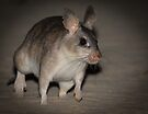 Giant rat of Madagascar by Anthony Brewer
