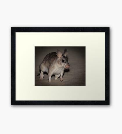 Giant rat of Madagascar Framed Print