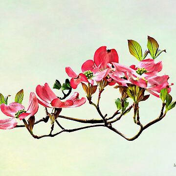 Pink Dogwood by SudaP0408