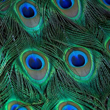 Peacock feather by theclayman