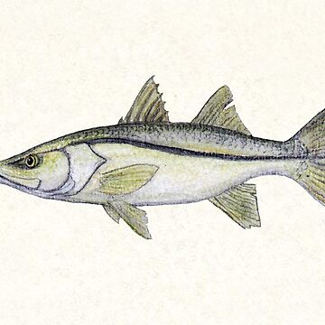 """Snook"" by Amber Marine ~ watercolor fish art, © 2013 by AmberMarine"