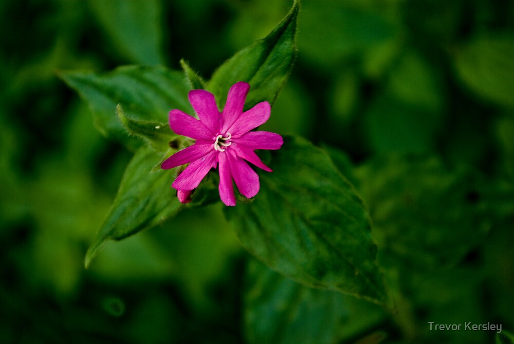 Wild Flowers - Red Campion by Trevor Kersley