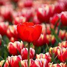 One Red Tulip by Jo Nijenhuis