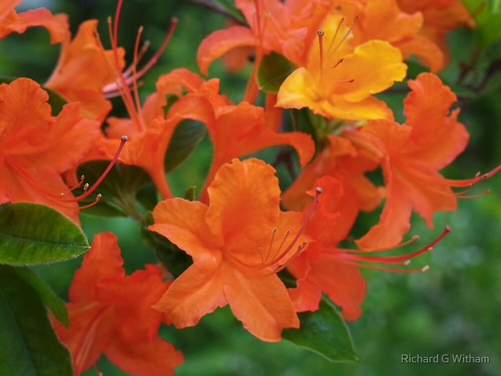 Flame Azalea by Richard G Witham