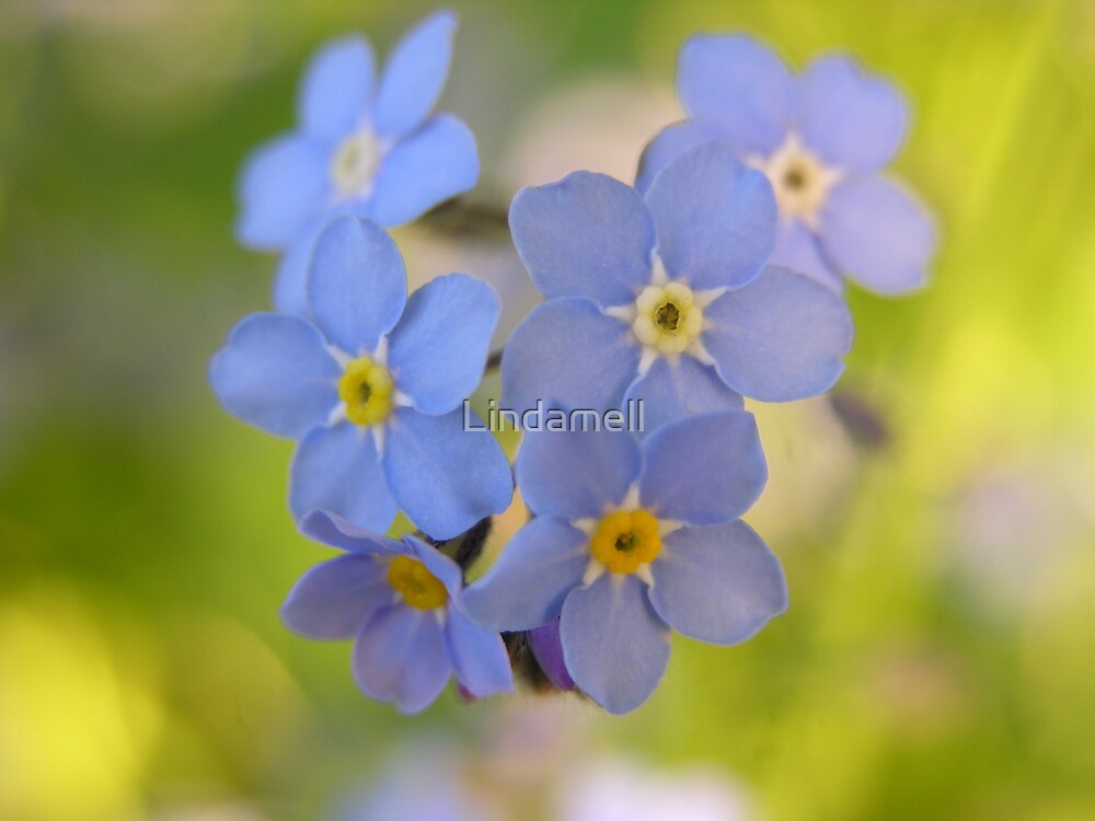 Forgetmenot by Lindamell