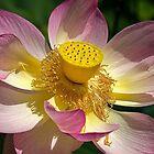 1787 Lotus by Hans Kawitzki