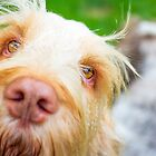 "Orange and White Italian Spinone Dog ""Hello There"" by heidiannemorris"