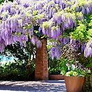 Japanese Wisteria by Len Bomba