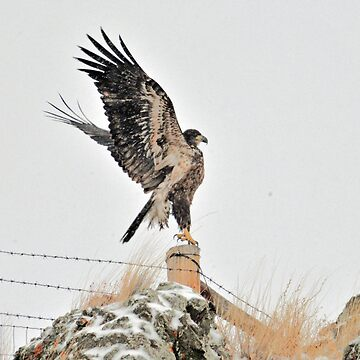 Eagle Rising, Montana Eagle photo by montanaartist