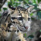 Clouded Leopard Cub by Len Bomba