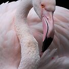 Greater Flamingo by Natalie Manuel