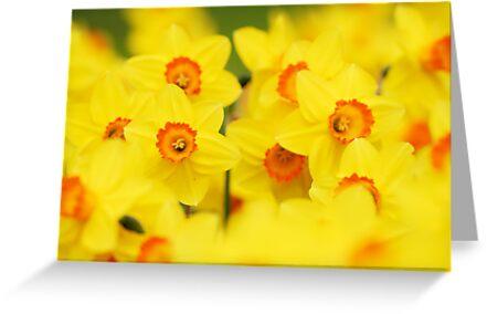 Happy yellow daffodils by Mirka Rueda Rodriguez