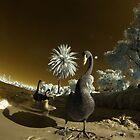 Black Swans, Swan river, Perth, Western Australia by BigAndRed