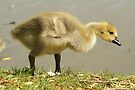 Young Canadian Gosling 3 by davesphotographics