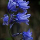 Pretty bluebells by Agnes McGuinness