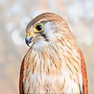 Harriet the Nankeen Kestrel 2, Native Animal Rescue by Dave Catley