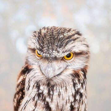 Tawny Frogmouth, Native Animal Rescue by MADCAT