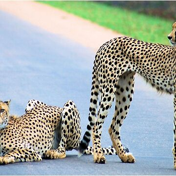 THE CHEETAH PAIR - Endangered species by mags