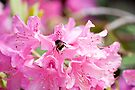 Spring Rhododendrons: Dulwich Park London by DonDavisUK