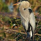 Great Blue Heron by TRussotto