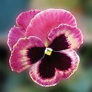 Cute Little Pansy Face by Kathryn Jones
