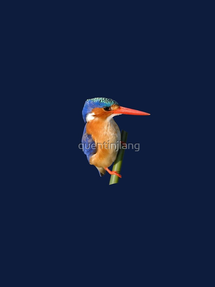 Malachite Kingfisher on reed 4 by quentinjlang