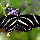 Zebra Longwing Butterfly by Rosalie Scanlon
