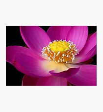 Pink Lotus Photographic Print