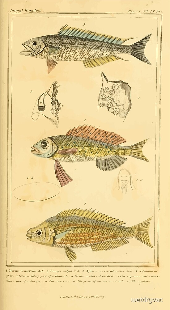 The Animal Kingdom by Georges Cuvier, PA Latreille, and Henry McMurtrie 1834  100 - Pisces Fish by wetdryvac