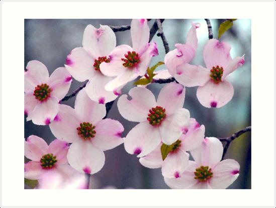 Wild pink dogwood flowers art prints by naturegreeting cards ccwri wild pink dogwood flowers by naturegreeting cards ccwri mightylinksfo