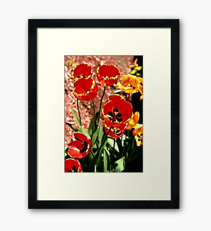 Brite Red And Yellow Tulip In SunLight Framed Print