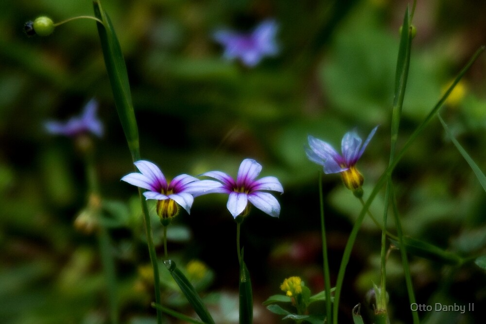Blue Eyed Grass by Otto Danby II