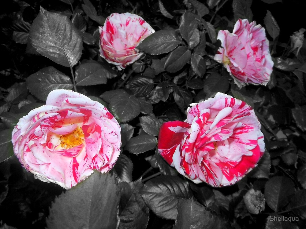 four peppermint roses, grey 05/12/18 by Shellaqua