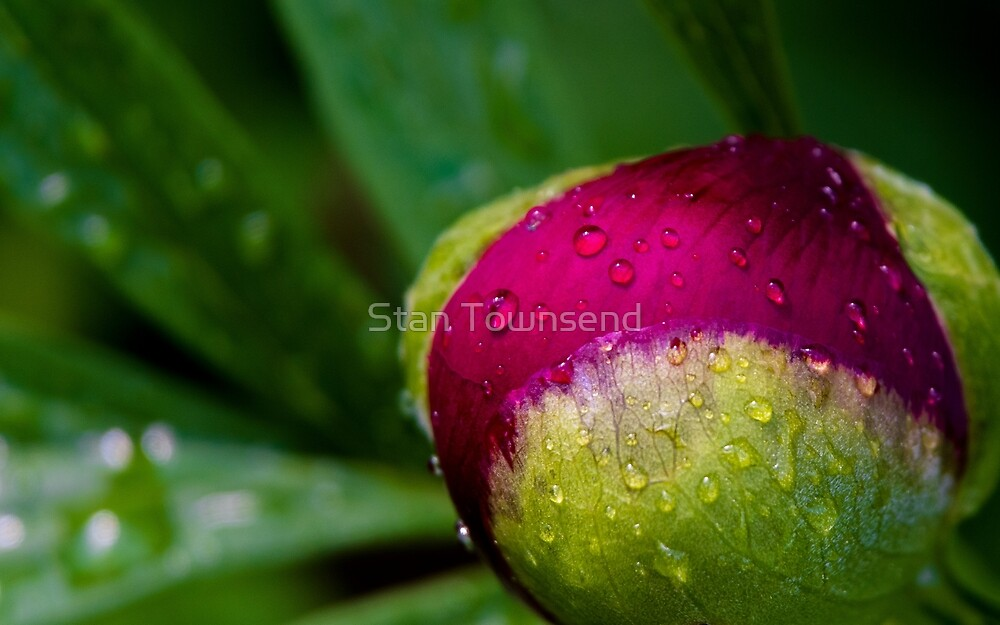 Color Drops - A Peony bud waiting to bloom by Stan Townsend
