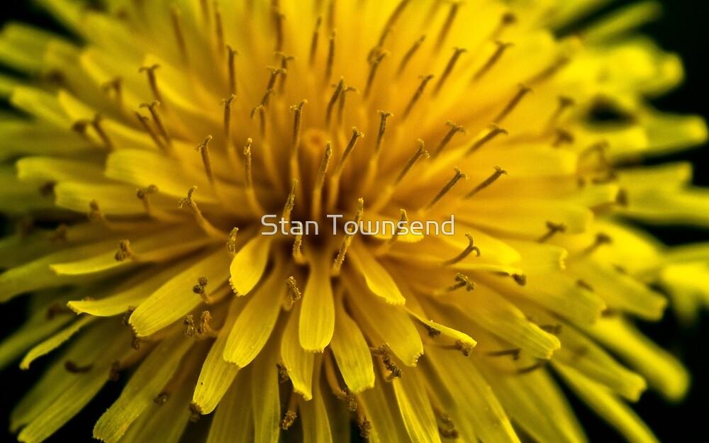 Reaching High - A Dandelion by Stan Townsend