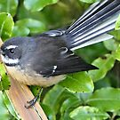 The Little Fantail by AndreaEL