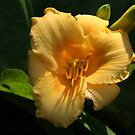 Stella De Oro Lily by Lyle Hatch