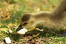 Young Canadian Gosling 12 by davesphotographics