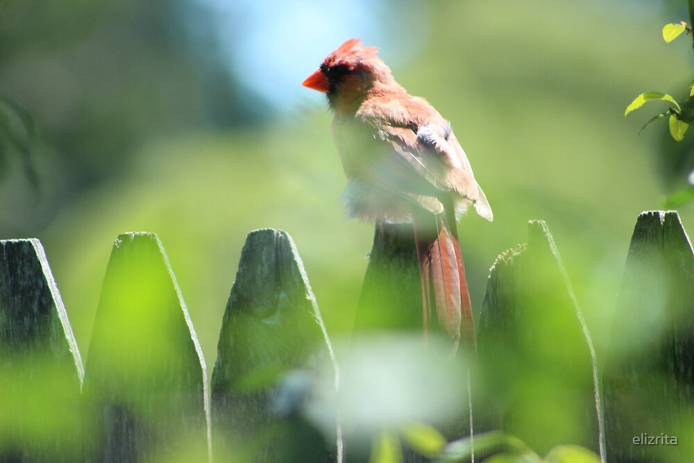 Cardinal by elizrita