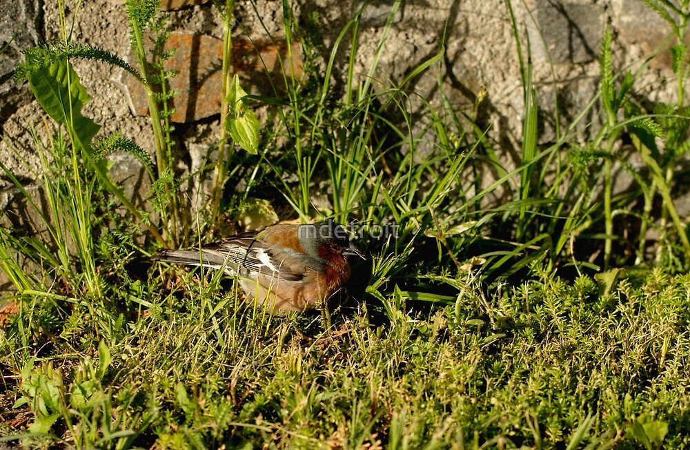 Chaffinch by mdetroit