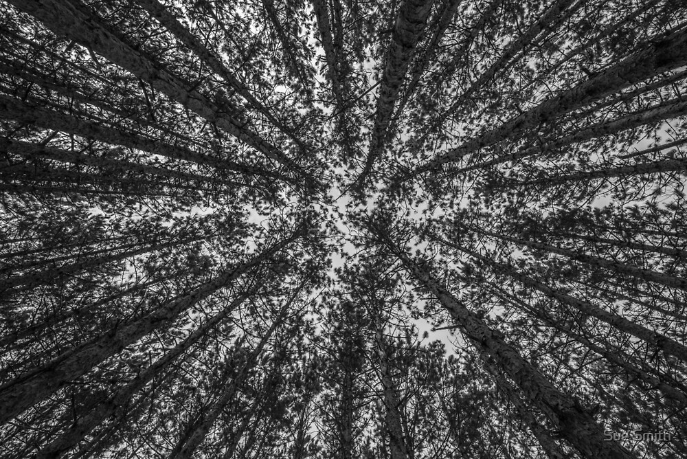 Red Pine Tree Tops in Black & White by Sue Smith